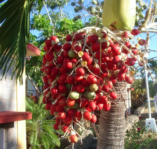 Red palm oil nutrition
